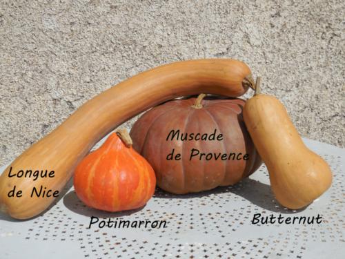 Muscade de Provence (c.moschata)