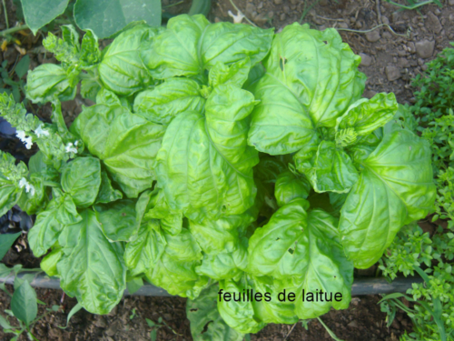 Basilic feuilles de laitues