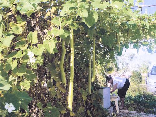 Courge de Sicile (Lagenaria londissima)