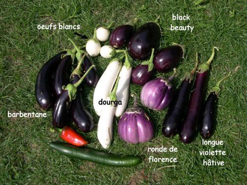Longue violette hâtive