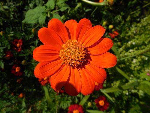 Tithonia ou soleil du Mexique